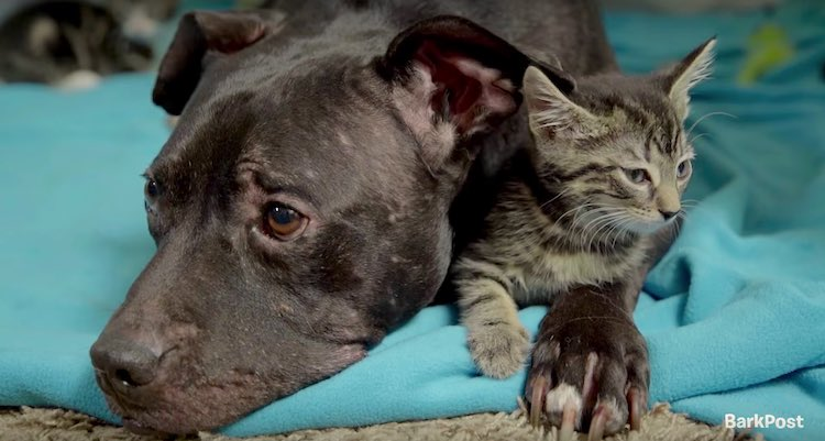 Michael Vick Pit Bull Loves Cats screenshot BarkBox