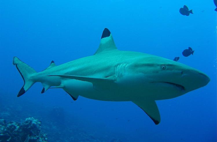 Shark cc Kawika Holbrook
