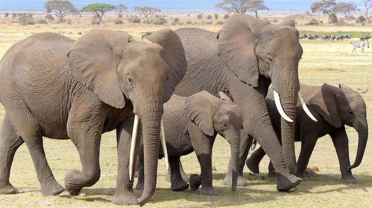 elephant-CC jbpic