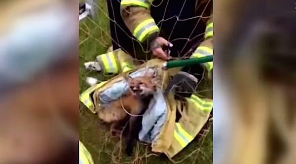 fox rescue-New Hope Eagle Volunteer Fire Company-FB