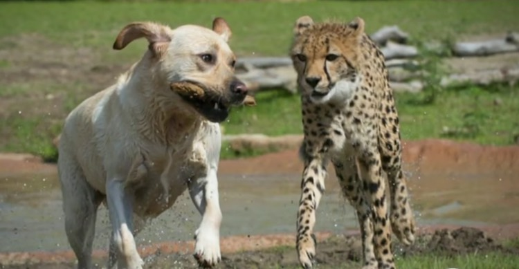 golden retriever and cheetah-Columbus Zoo released