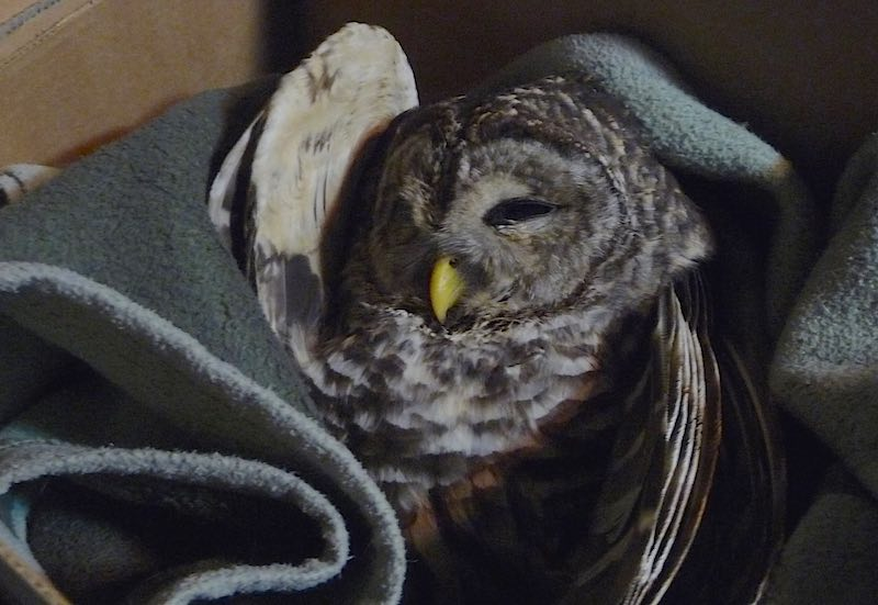 owl in blanket-copyright-good news network