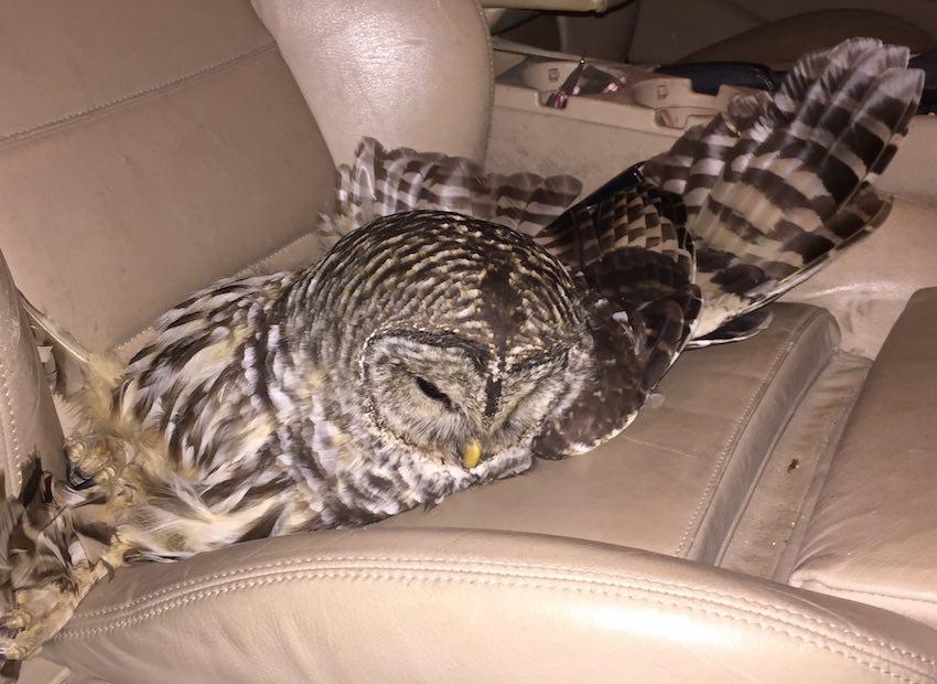 owl on car seat-copyright Good News Network
