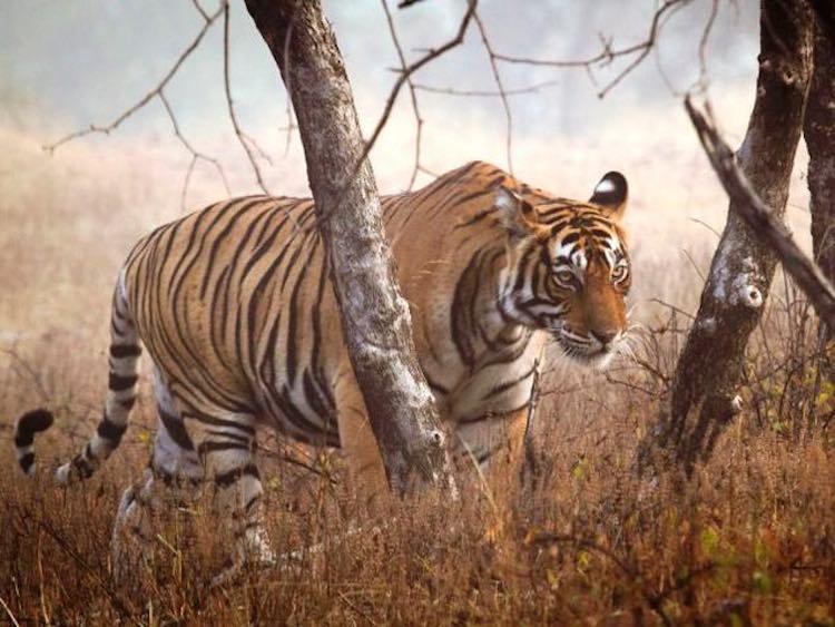tiger_in india-WWF-UK