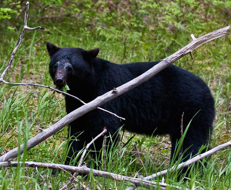 Black Bear-CC NWCouncil