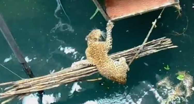 Leopard Rescue-Youtube