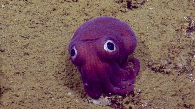 scientists discover species of adorable googly eyed fish