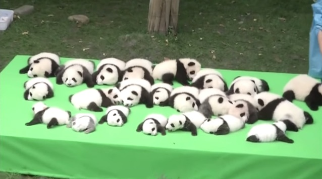 Check Out These 23 Baby Pandas Making Their World Debut Watch Good News Network