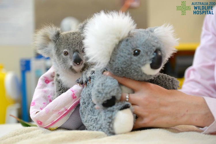 shayne-the-koala-australia-zoo-wildlife-hospital
