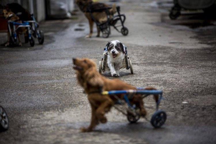 2-wheelchair-dogs-750-facebook