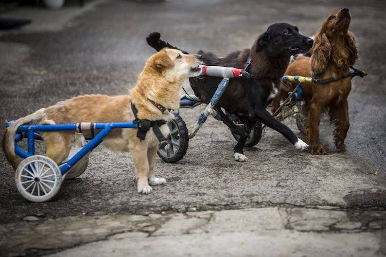 3-dogs-in-wheelchairs-facebook