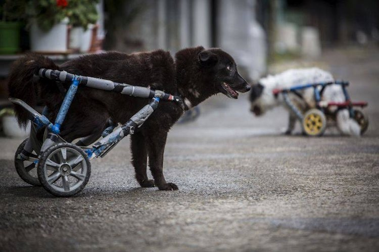 black-dog-wheelchair-facebook