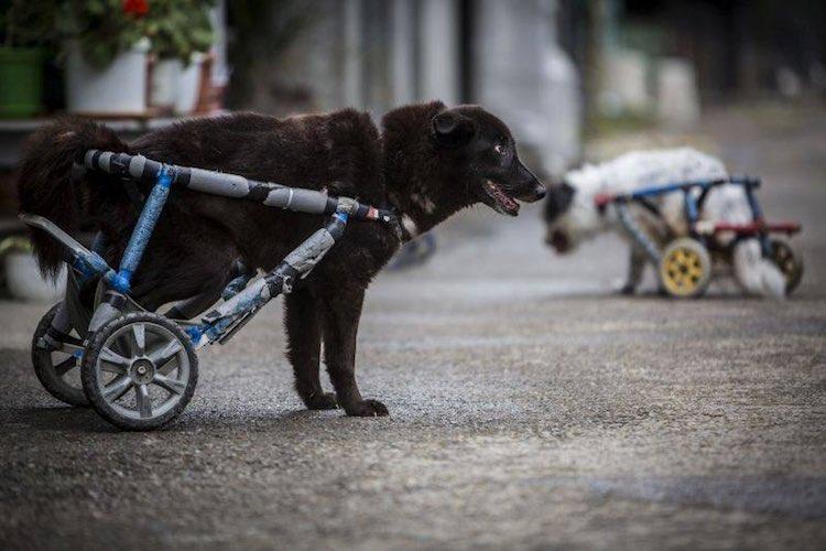 black-dog-wheelchair-facebook