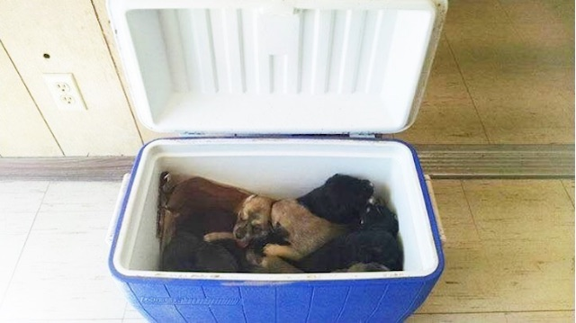 cooler-full-of-puppie-hunt-county-pets-alive