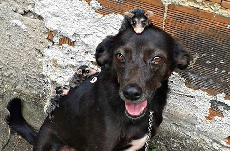dog-and-possums-facebook