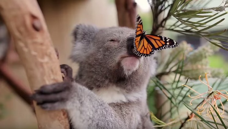koala-and-butterfly-youtube