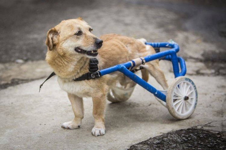 Small Dogs In Wheelchairs