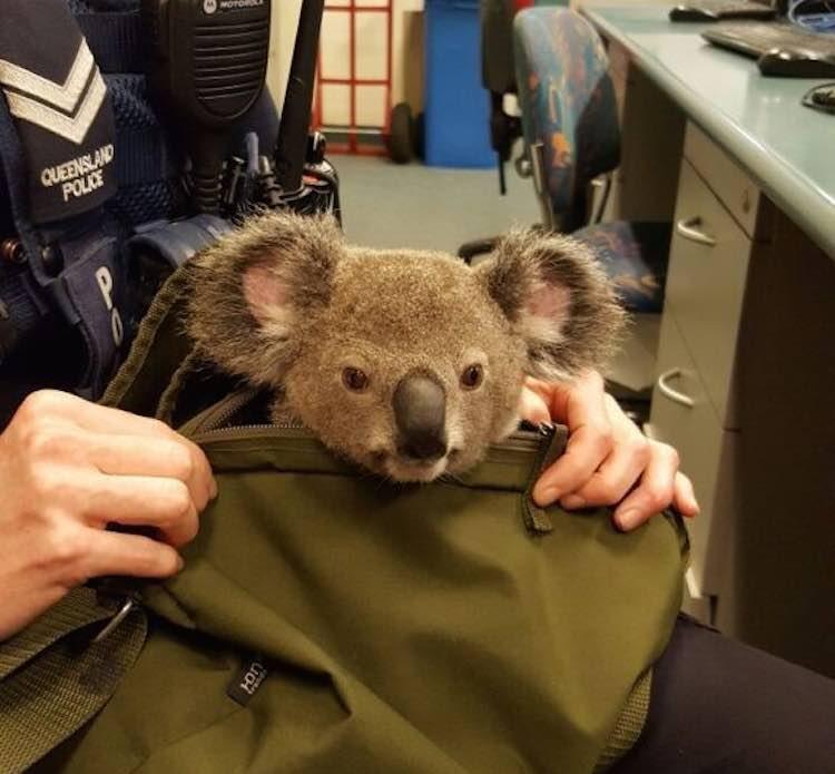 backpack-koala-750p-rspca