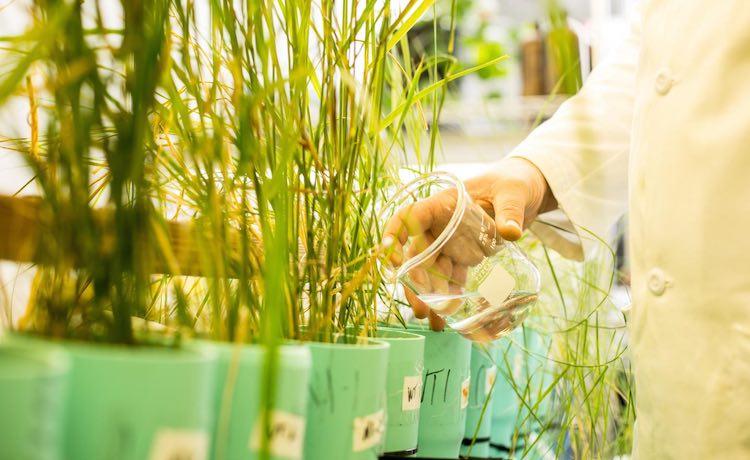 bacteria-absorbant-grass-dennis-wise-university-of-washington
