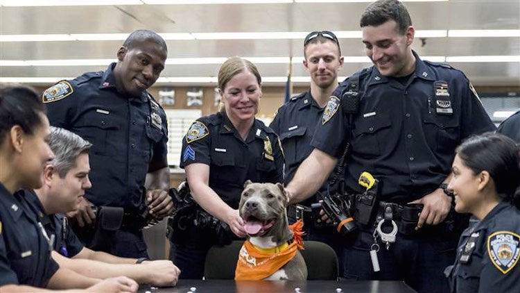 cops-petting-jamie-the-pit-bull-aspca
