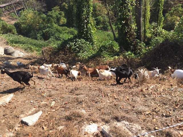 goats-facebook