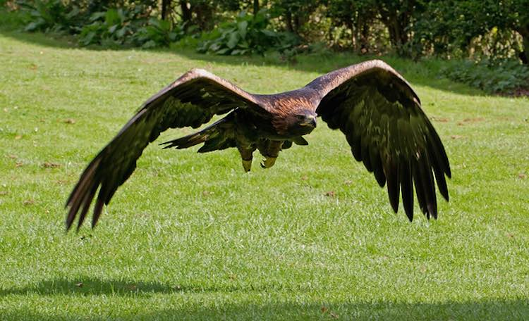 golden-eagle-cc-ahisgett