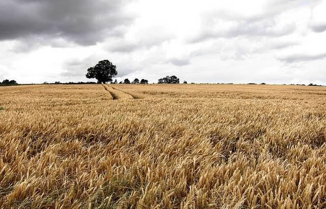 wheat-cc-eiflonglyn