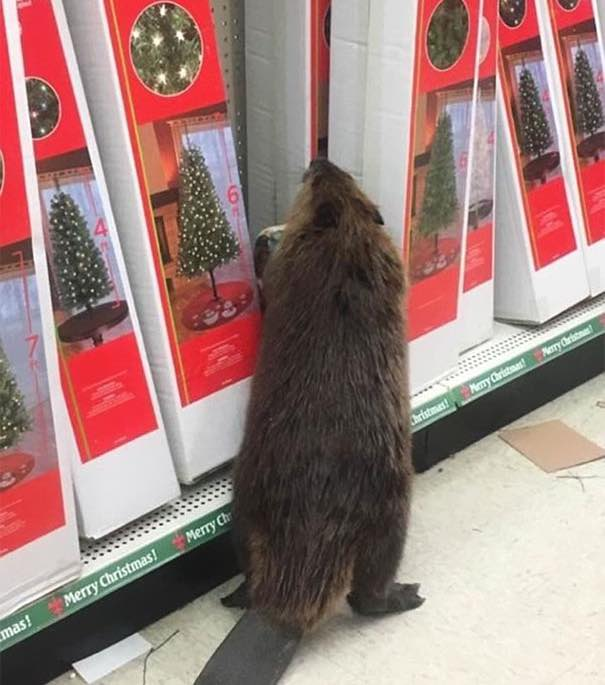 Beaver Christmas Shopping St Marys