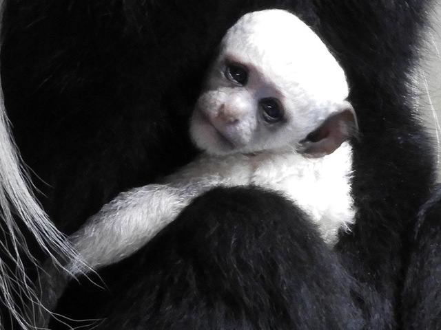 Baby White Monkey-Facebook