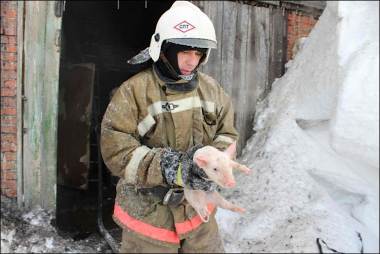 Firefighter and Pig-Emergency Ministry of Tomsk