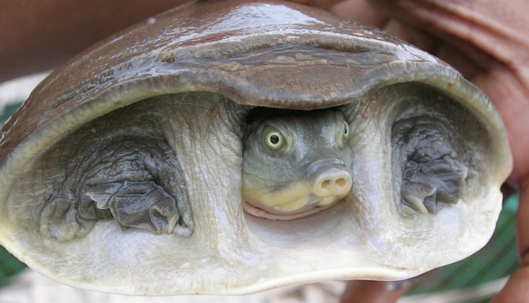flap-shelled-turtle-cc-l-shyamal