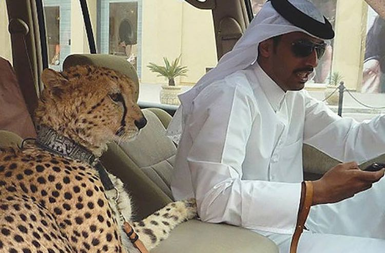 man-and-pet-cheetah-bardhi-biloshmi-gallery-facebook