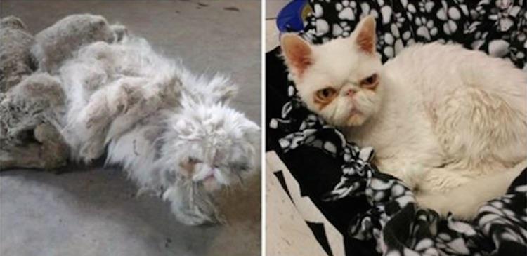 burmese cat health issues