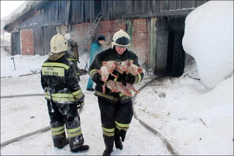 Smiling Firefighter and Piglets-Emergency Ministry of Tomsk