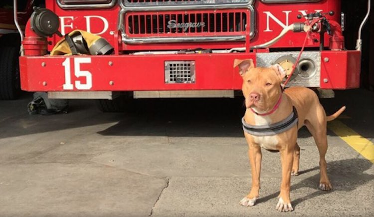 Ashley the Firehouse Pit Bull-Instagram