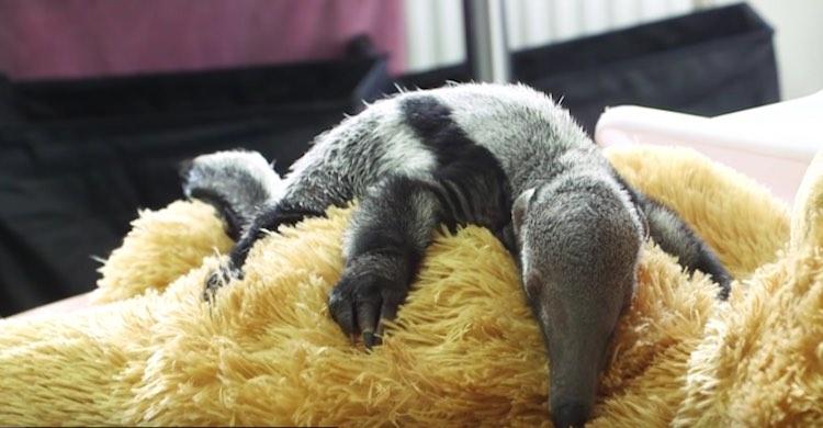 Beanie the Anteater-Youtube