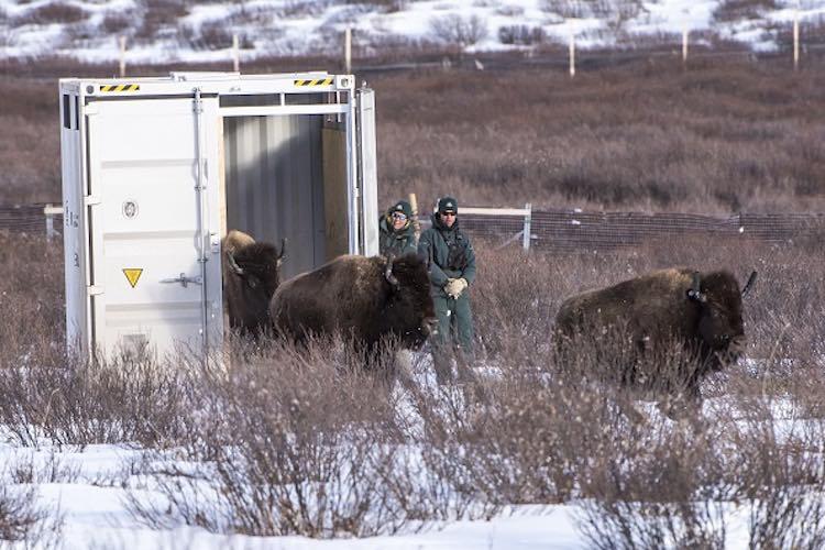 Bison-Parks Canada