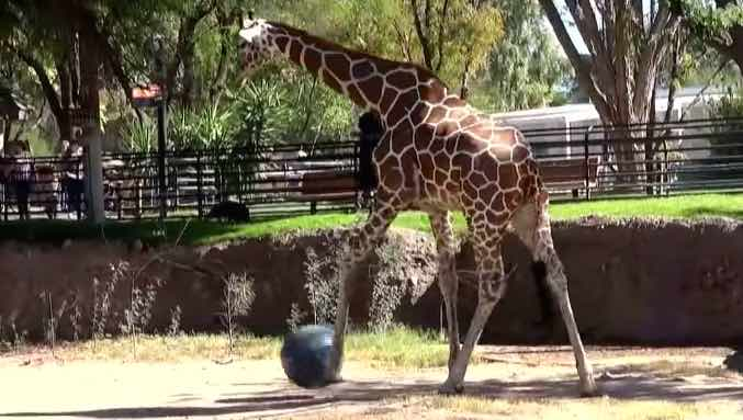 Giraffe Playing Soccer-Youtube
