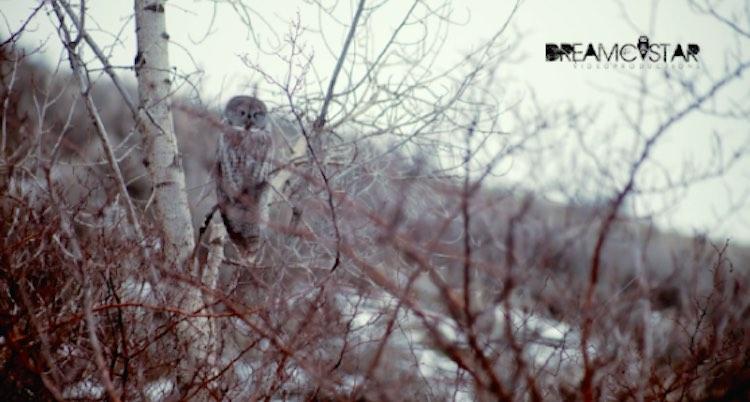Gray Owl-Vimeo