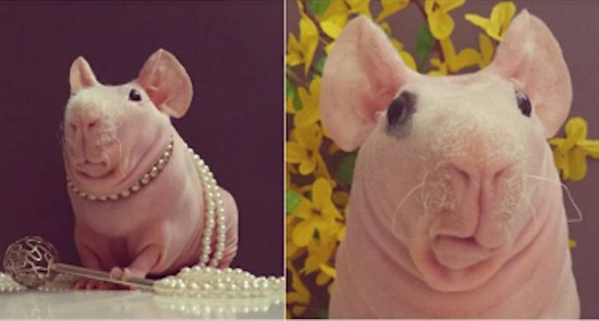 Ludwik the Guinea Pig-Instagram