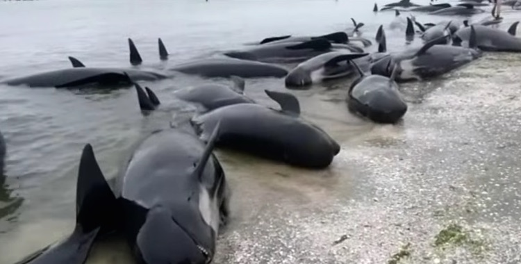 Pilot Whales-Youtube