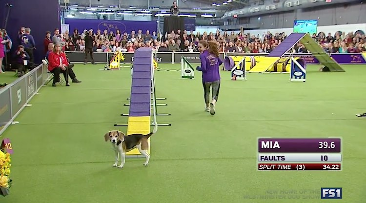 Westminster Dog Show beagle-Fox Sports