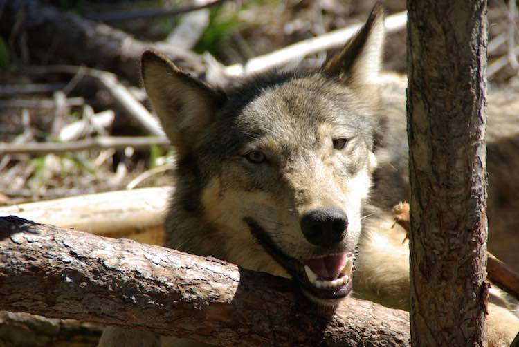Wolves in washington state are finally rebounding good for Department of fish and wildlife washington