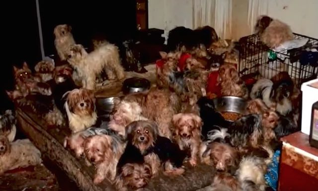 92 Yorkies Found in Hoarder's House All Adopted by New