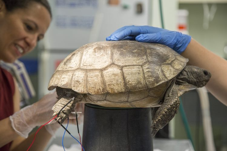 Dr. Carolina Medina gives tortoise electro-acupuncture therapy