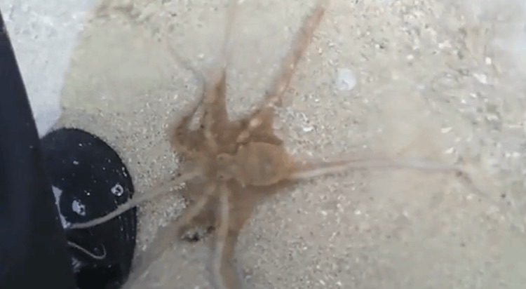 Baby Octopus is Quick to Thank Human Rescuer Before it Swims