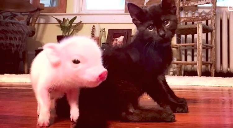 Kitten Has Team of Piglets to Watch Over Him During His Seizures (WATCH)