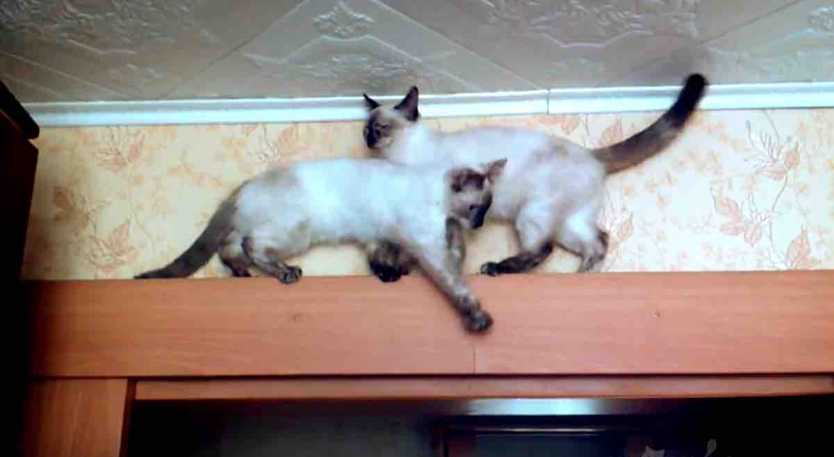Watch Amusing Video Of Two Cats Trying To Pass Each Other