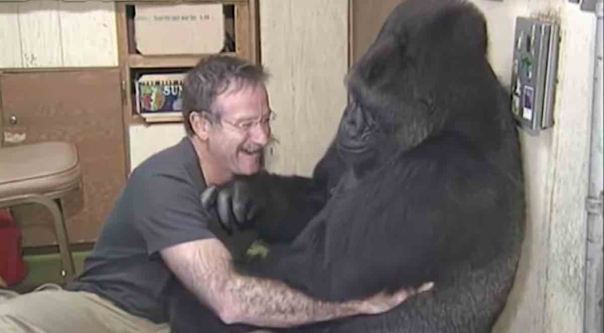 Koko The Gorilla S Extraordinary Life From Sign Language To Meeting Mister Rogers 1971 2018