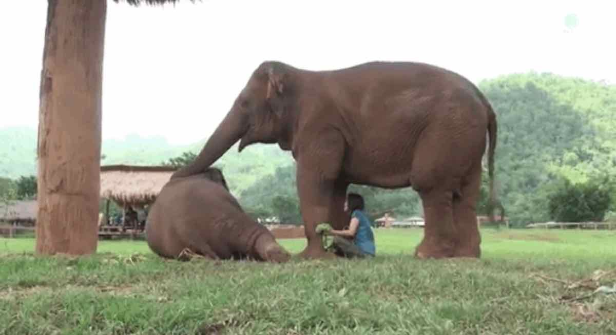 Watch Persistent Elephant Stop at Nothing to Summon Busy